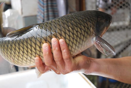 close up on living carp fish caught in hand