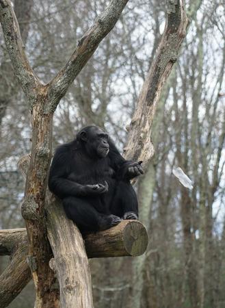 chimpanzee sitting on the tree throwing plastic bottle away