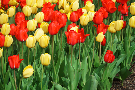 tulips blooming in garden flower bed in spring Banque d'images