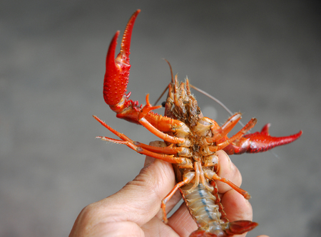 close up on the small red lobsters in hand