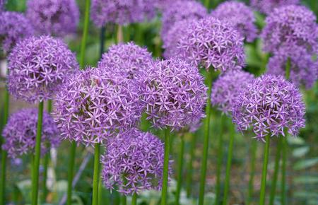 Purple allium lucy ball flower blooming in spring