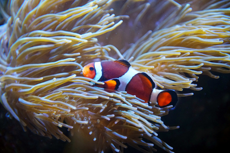 Colorful clown fish in the coral reef