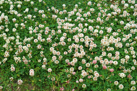 lawn in bad condition with clover flowers blooming 版權商用圖片