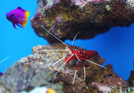 close up on beautiful red shrimp and fish in the reef