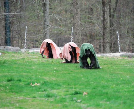 group of chimpanzee with blanket in the zoo