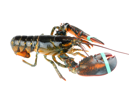 single alive raw lobster isolated on white background