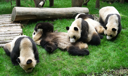 close up on giant pandas playing outdoor on the meadow Stock Photo