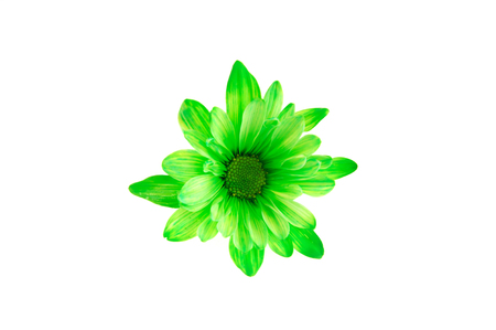 close up on green chrysanthemum flower isolated on white background