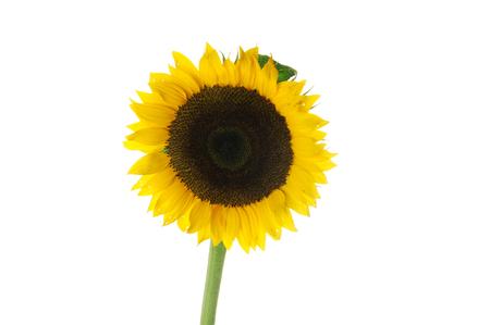 Single sunflower isolated on white background Stock Photo