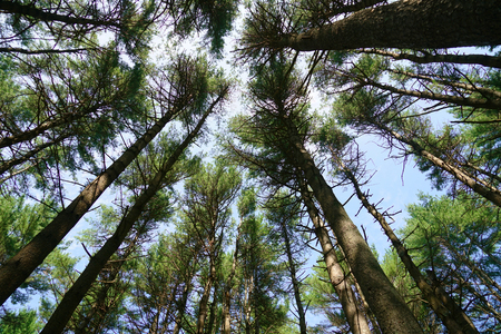 low angle view of the pine tree forest Stock Photo