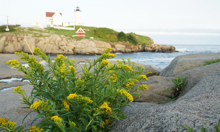 nubble lighthouse with rocks, sea and wild flower