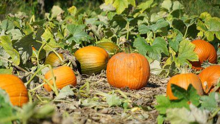 close up on pumpkin field in autumn harvest season