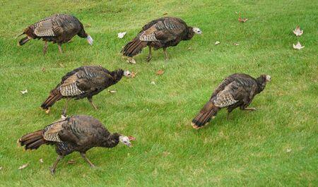 close up on wild turkeys on the meadow Stock Photo