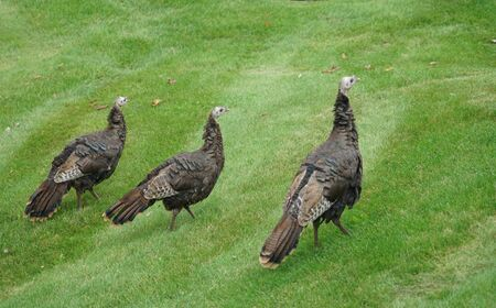 close up on wild turkeys on the meadow Stock Photo