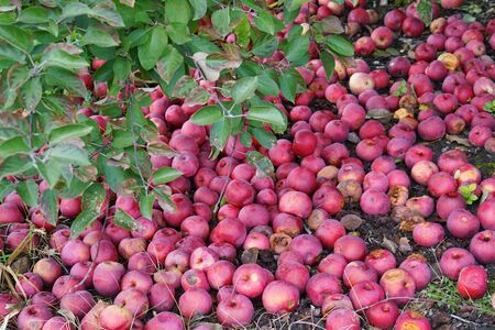 Fallen apples under the tree in the orchard Stok Fotoğraf