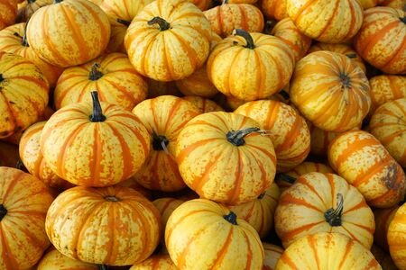 yellow pumpkins in container at farm in autumn harvest season Stok Fotoğraf