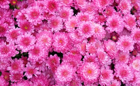 blooming pink chrysanthemum flower as nature background