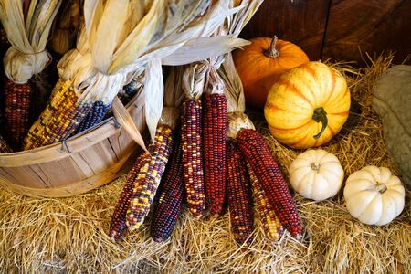 colorful Indian corn and colorful pumpkins decoration on hay 版權商用圖片