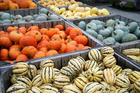 colorful pumpkins in container at farm in autumn harvest season 版權商用圖片