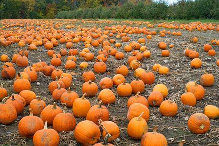 pumpkins in the field in autumn harvest season Stok Fotoğraf - 128429967