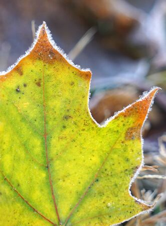 close up on fallen maple leaf with frost in winter morning Stok Fotoğraf - 128429979