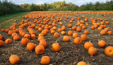 Kürbisse auf dem Feld in der Herbsterntezeit