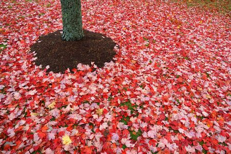 close up on red fallen leaves on the lawn