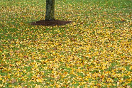 close up on yellow fallen leaves on the lawn