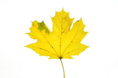 close up on yellow autumn leaf texture isolated on white background