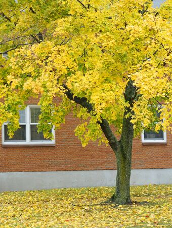 autumn yellow trees with fallen leaves in front of the building Stock Photo