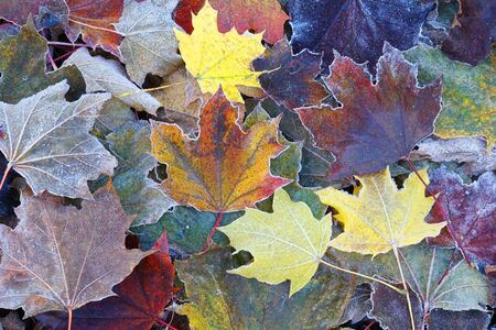 frost colorful leaves in the cold morning as nature background