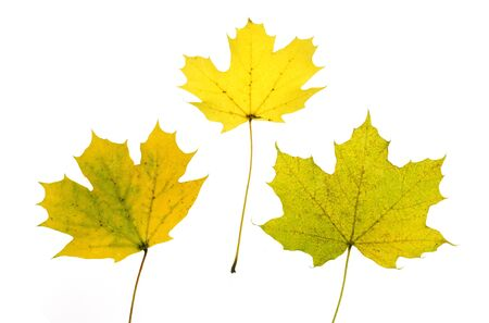 close up on yellow autumn leaves texture isolated on white background