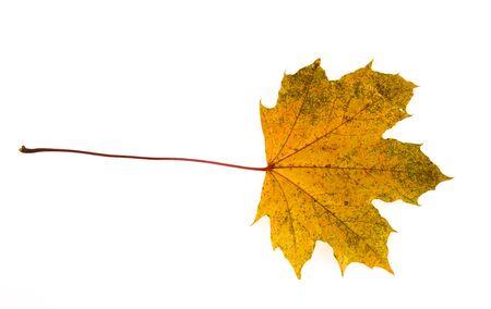 yellow autumn maple leaf isolated on white background