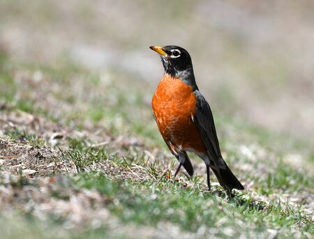 close up on American robin on the lawn