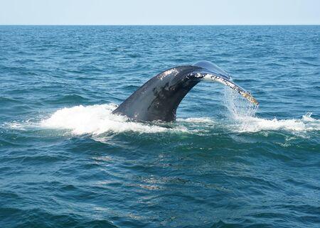 Schwanz des Buckelwals im Ozean während der Walbeobachtungsreise