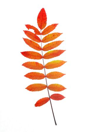 red staghorn sumac leaves in autumn isolated on white background Stock Photo
