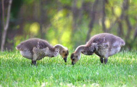 Canada goose goslings eating on the green meadow Stock Photo