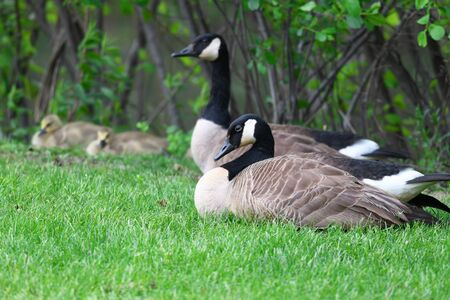 close up on Canada goose family on green meadow
