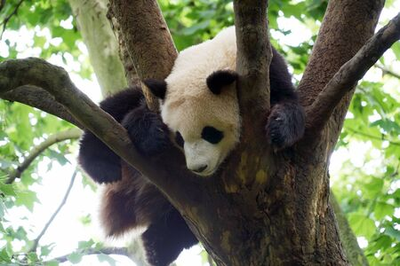 young panda climbing up and sleeping on the tree