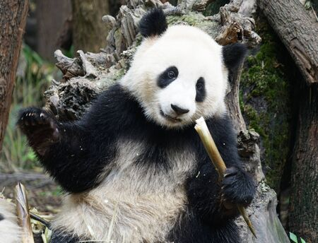 Giant panda sitting outdoor eating bamboo shoots