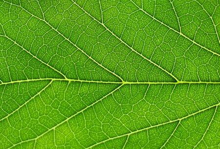 close up on fresh green leaf vein Stock Photo