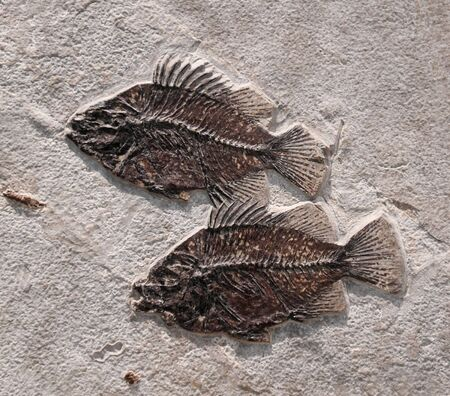 close up on fossil fish in the rock