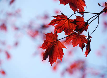 red leaves branches in spring
