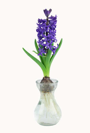 Purple hyacinth growth in spring isolated on white background
