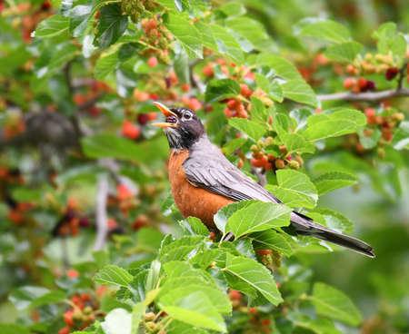 robin bird eating mulberry fruit on the tree Stok Fotoğraf