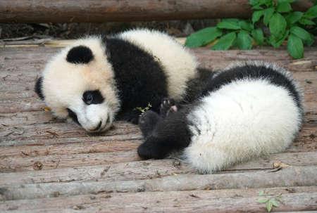 Cute baby panda sleeping under sunlight