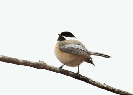 close up on black capped chickadee bird isolated on white background Stok Fotoğraf