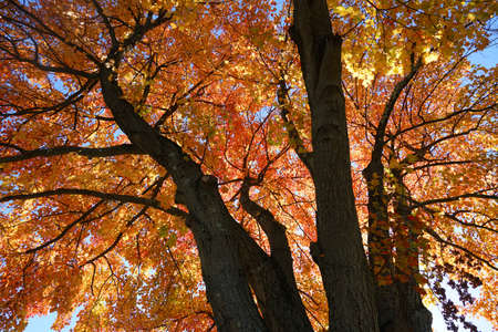 Low angle view of autumn tree with bright red color Stok Fotoğraf