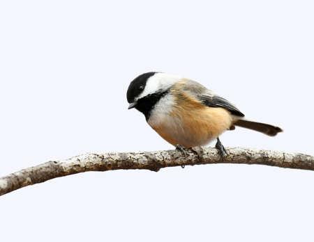 close up on black capped chickadee bird on the tree branch Stok Fotoğraf