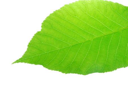 fresh green leaf isolated on white background